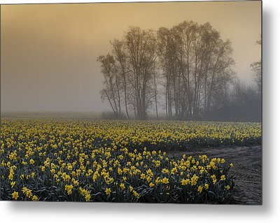 Early Morning Daffodil Fog Metal Print