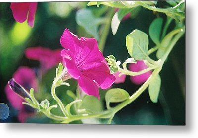 Metal Print featuring the photograph Early Morning Petunias by Alan Lakin