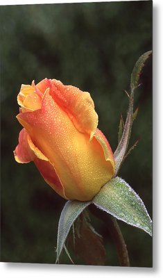 Early Morning Rosebud Metal Print