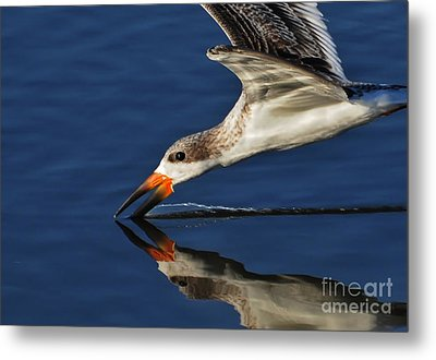 Metal Print featuring the photograph Early Morning Skimmer by Kathy Baccari