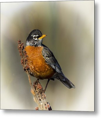 Early Spring Robin Metal Print