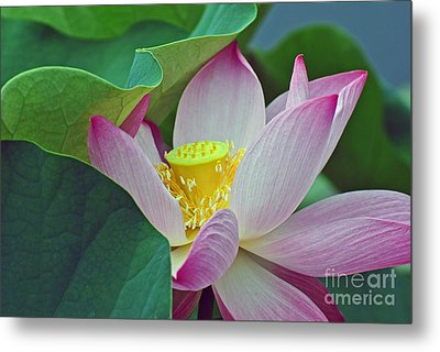 East Indian Lotus Metal Print