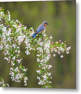 Eastern Bluebird Square Metal Print