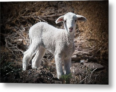 Metal Print featuring the photograph March Lamb by Jan Davies