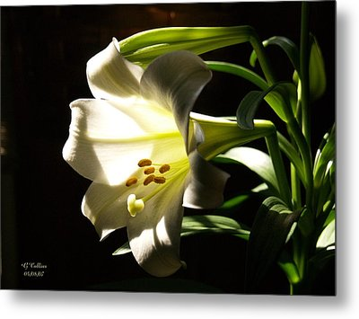 Easter Lilly Metal Print