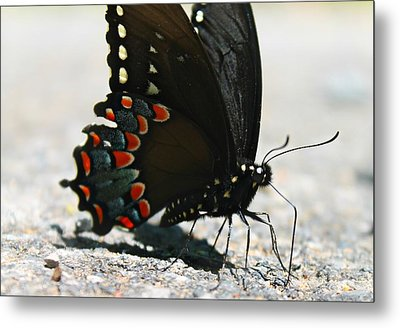 Eastern Black Swallowtail Metal Print