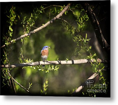 Eastern Blue Bird At Sunrise Metal Print by Cris Hayes