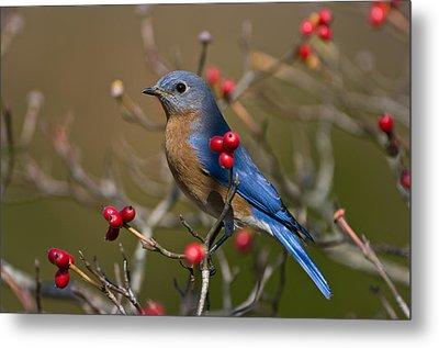 Eastern Bluebird - 2531 Metal Print