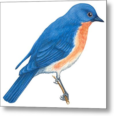 Eastern Bluebird Metal Print by Anonymous