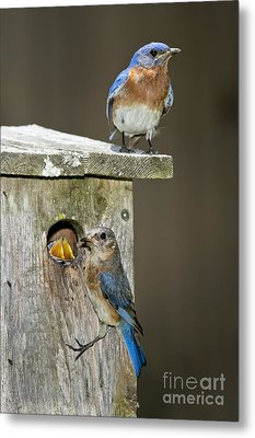 Eastern Bluebird Family Metal Print by Anthony Mercieca