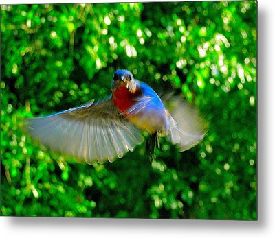 Eastern Bluebird In Flight Metal Print