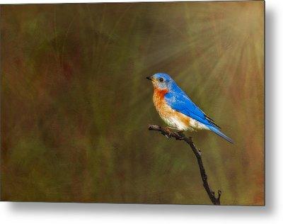 Eastern Bluebird In The Prairies Metal Print by Susan Candelario