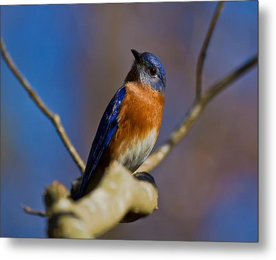 Eastern Bluebird Metal Print by Robert L Jackson