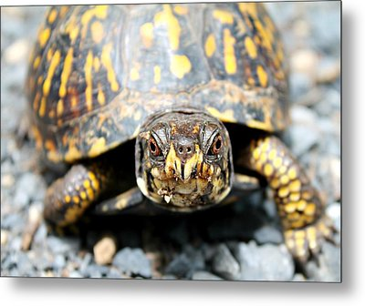 Eastern Box Turtle Metal Print