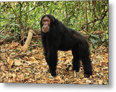 Eastern Chimpanzee Gombe Stream Np Metal Print by Thomas Marent