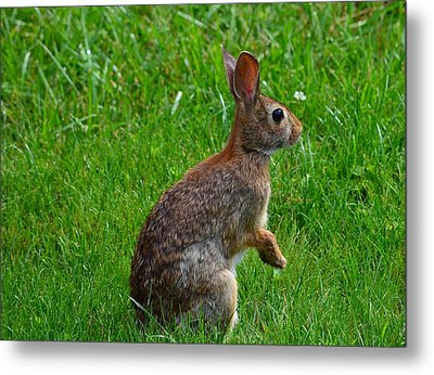 Eastern Cottontail Metal Print by Kathy Eickenberg