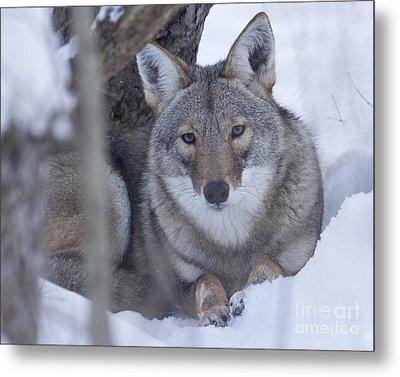 Eastern Coyote In Winter Metal Print by Deborah Smith
