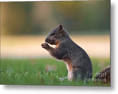 Eastern Fox Squirell Metal Print
