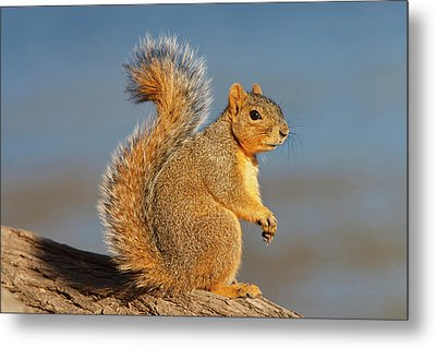 Eastern Fox Squirrel (sciurus Niger Metal Print