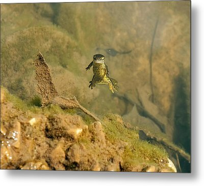 Eastern Newt In A Shallow Pool Of Water Metal Print by Chris Flees