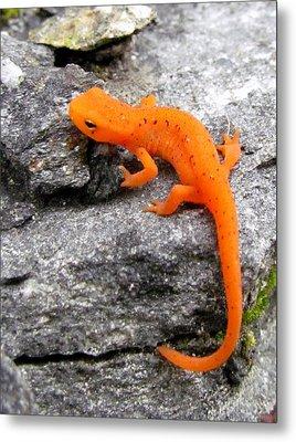 Orange Julius The Eastern Newt Metal Print by Lori Pessin Lafargue
