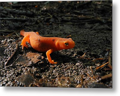 Eastern Newt Red Eft Metal Print by Christina Rollo