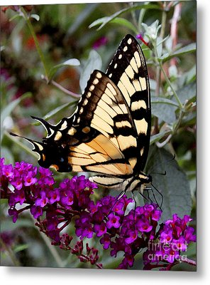 Eastern Tiger Butterfly Metal Print by James C Thomas