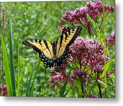Metal Print featuring the photograph Eastern Tiger Swallowtail On Joe Pye Weed by Neal Eslinger
