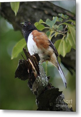 Metal Print featuring the photograph Eastern Towhee by Anita Oakley