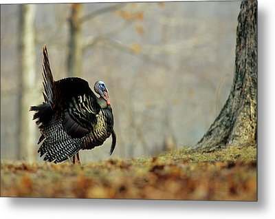 Eastern Wild Turkey (meleagris Metal Print by Richard and Susan Day