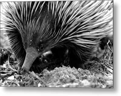 Metal Print featuring the photograph Echidna by Miroslava Jurcik