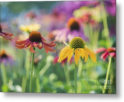 Echinacea Cheyenne Spirit Metal Print by Tim Gainey