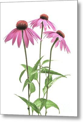 Echinacea Purpurea Flowers Metal Print by Elena Elisseeva