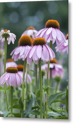 Echinacea Purpurea Metal Print by Juli Scalzi