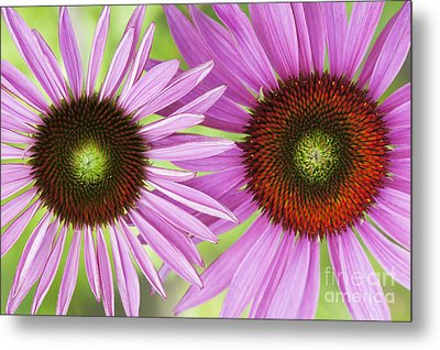 Echinacea Purpurea Rubinglow Pattern Metal Print by Tim Gainey