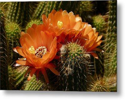 Echinopsis Huascha Cactus Trio Metal Print