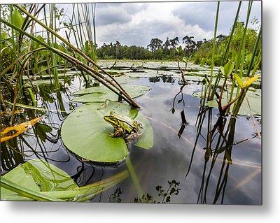 Edible Frog On Lily Pad Overijssel Metal Print