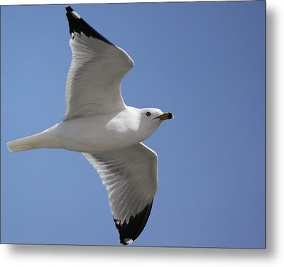 Metal Print featuring the photograph Effortless Flight by Bill Woodstock