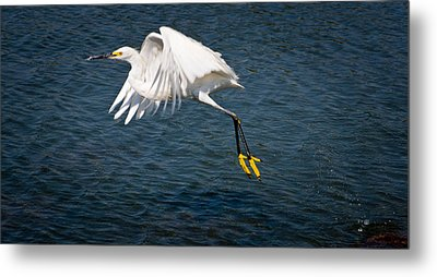 Metal Print featuring the photograph Egret Aloft by Janis Knight