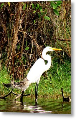 Egret And Ducks 2 Metal Print by Will Boutin Photos