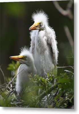 Egret Chicks 8x10 Metal Print