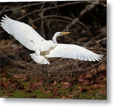 Egret In Flight Metal Print