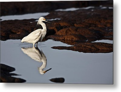 Metal Print featuring the photograph Egret In Tide Pool  Mg_9631 by David Orias