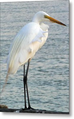 Metal Print featuring the photograph Egret by John Collins