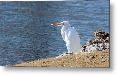Metal Print featuring the photograph Egret by John Johnson