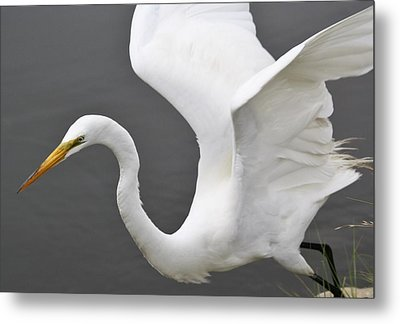 Egret Take Off Metal Print by Paulette Thomas