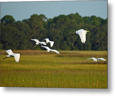 Egrets In Flight On Jekyll Island Metal Print by Bruce Gourley