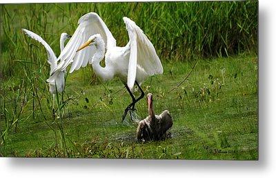 Egrets Taking Flight Metal Print