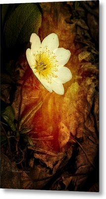 Eight Petal Dryas Metal Print