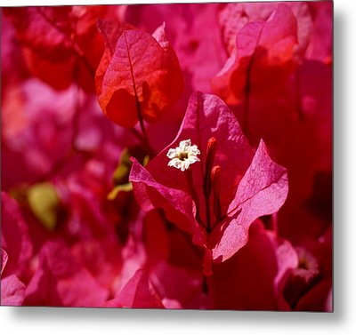 Electric Pink Bougainvillea Metal Print